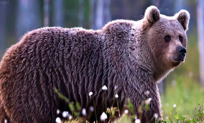 Karhu tallustelee metsässä